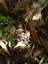 Bambusa arnhemica shoots