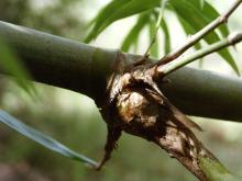Bambusa arnhemica