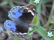 Blue-Argus_female.jpg