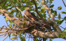 Collared Sparrowhawk nest-building