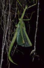 Darwin Stick Insect