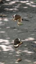 Fuscous Swallowtail (f = top, m = bottom)