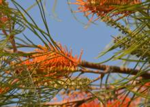 Fern Leaved Grevillea