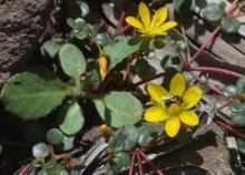 Portulaca bicolor